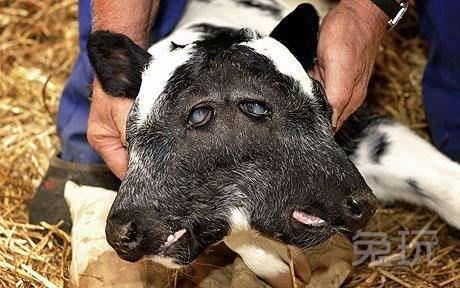 世界上最神奇的双头动物 惊现一头双头奶牛